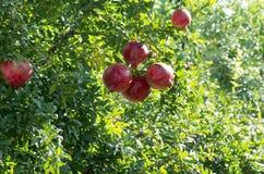 Pomegranate Tree. In The Garden Stock Photos