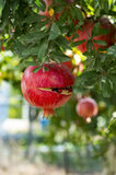 Pomegranate Tree. In The Garden Royalty Free Stock Images