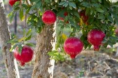 Pomegranate Tree. In The Garden Royalty Free Stock Photos