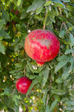 Pomegranate Tree. In The Garden Stock Photography