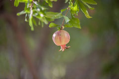 Pomegranate on tree in garden Stock Photo