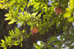 Pomegranate on tree in garden Stock Photos