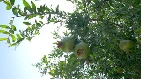 Pomegranate tree with green fruit. Slow motion low angle of a pomegranate tree with unripe fruit on sky background, wind stirring the branches through which the stock footage