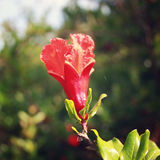 Pomegranate tree with green leafy background - vintage filter. Royalty Free Stock Photography