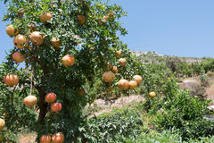Pomegranate tree. Growing in Turkish rural orchard Royalty Free Stock Image