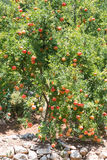 Pomegranate tree. Growing in Turkish rural orchard Stock Image