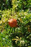 Pomegranate tree and huge pomegranate fruits growing under the scorching sun and blue sky stock photo