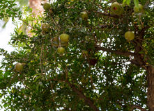 Pomegranate tree with immature green garnets. On branches among foliage Royalty Free Stock Images