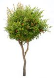 Pomegranate tree isolated on white Royalty Free Stock Image