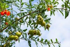 Pomegranate on the tree Royalty Free Stock Photos