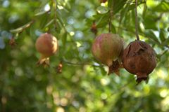 Pomegranate tree is more mature than required. With 3 fruit of the grenade Royalty Free Stock Images