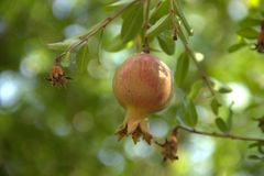 Pomegranate tree is more mature than required. With  fruit of the grenade Royalty Free Stock Photography