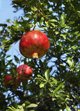 Pomegranate tree near Evzonoi. Greece.  Stock Images