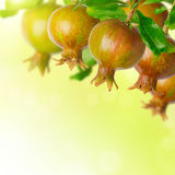 Pomegranate tree over blurred green background Royalty Free Stock Images