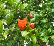 Pomegranate Or Punica Granatum In Bloom in Crete. Pomegranate tree or Punica granatum in bloom in spring on the island of Crete Stock Images
