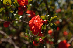 Pomegranate tree, Punica granatum, flowers and bears fruit Stock Image