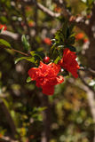 Pomegranate tree, Punica granatum, flowers and bears fruit Stock Photography