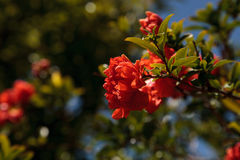 Pomegranate tree, Punica granatum, flowers and bears fruit Stock Photo