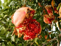 Pomegranate on a tree Royalty Free Stock Photo
