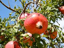 Pomegranate on a tree Royalty Free Stock Photography