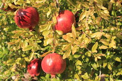 Pomegranate on tree Royalty Free Stock Photos