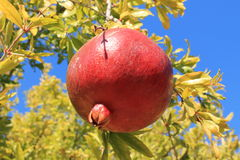 Pomegranate on tree Royalty Free Stock Photography