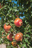 Pomegranate tree Royalty Free Stock Photos