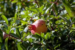 Pomegranate on the tree. Ripe pomegranate fruit on tree in Abkhazia stock photography