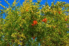 Pomegranate tree with ripe fruit on the branches Royalty Free Stock Images