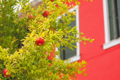 Pomegranate tree with ripe fruits Royalty Free Stock Image