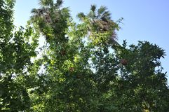 Pomegranate tree with ripe fruits in the sky from Athens in Greece. On september 6th 2017 stock image