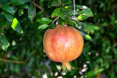 Pomegranate on tree stock photo