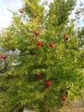 Pomegranate tree with ripe red fruits Stock Photography