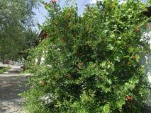 Pomegranate tree. Stock Photos