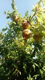 Pomegranate tree in the summer sun royalty free stock photography