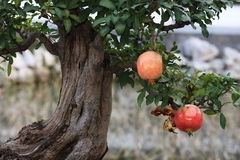 Pomegranate in the tree royalty free stock photos