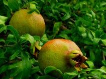 Pomegranate on tree. Unripened pomegranate fruit on tree Stock Images