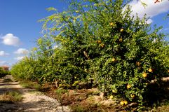 Pomegranate trees with fruits Stock Photography