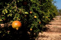 Pomegranate trees with fruits Royalty Free Stock Photography