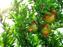 Pomegranate. Unripe pomegranate fruit hanging on a branch Stock Image