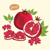 Pomegranate , Vector. Stock Image