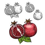 Pomegranate Vector Sketch Fruit Cut Section Icon Royalty Free Stock Photos