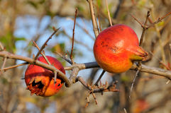 Pomegranate in the wild Stock Photography