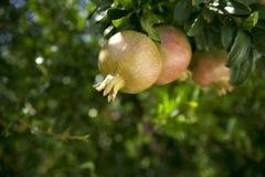 pomegranates ветви Стоковое Фото