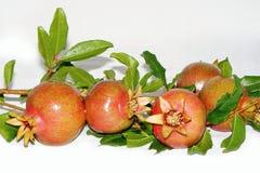 Pomegranates на ветви Стоковые Изображения RF