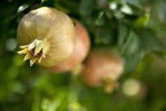 Pomegranates на ветви Стоковое Изображение