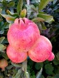 Pomegranates на ветви Стоковые Фото