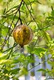 Pomegranates с зеленой предпосылкой листьев. Стоковое Изображение