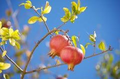 Pomegranates. Pomegranate fruits hanging from tree stock photo