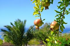 pomegranates Стоковая Фотография